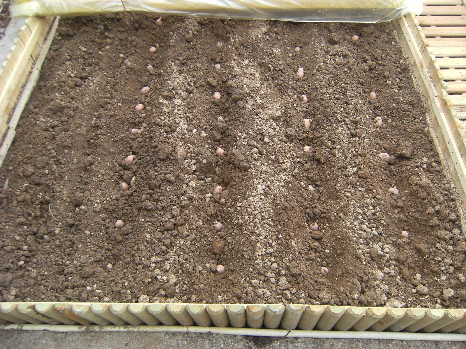 """Planter la pomme de terre """"ROSABEL"""""""